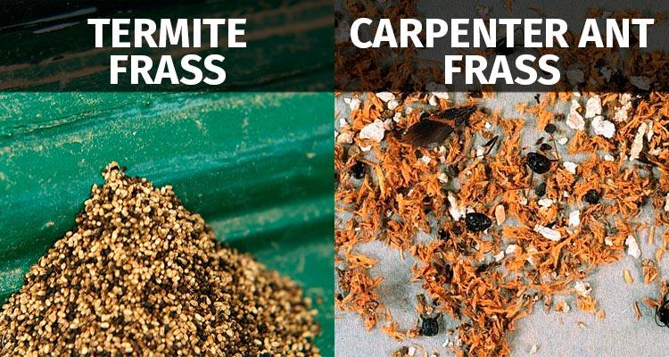 carpenter ant frass vs termite frass