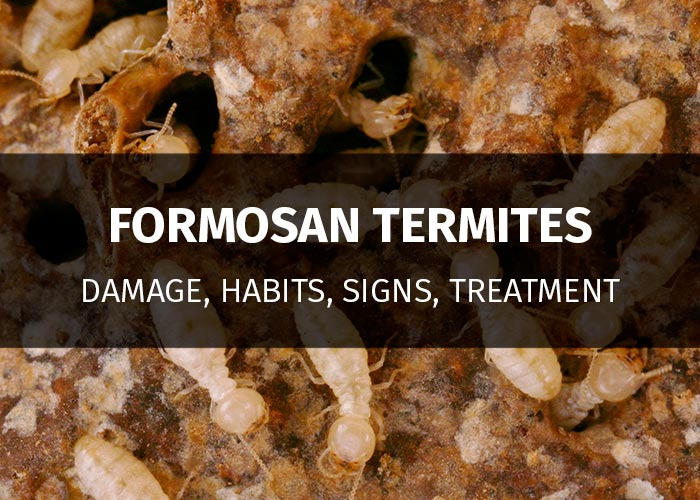 formosan termites: damage, signs, treatment
