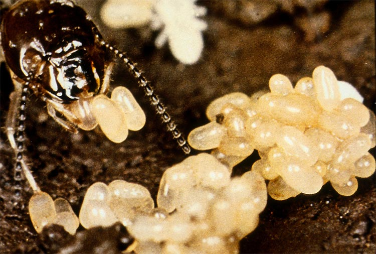 Termite queen near her eggs.