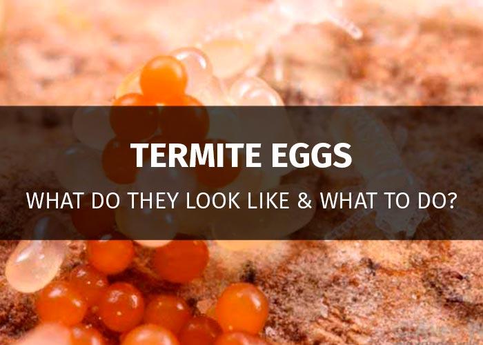 termite eggs