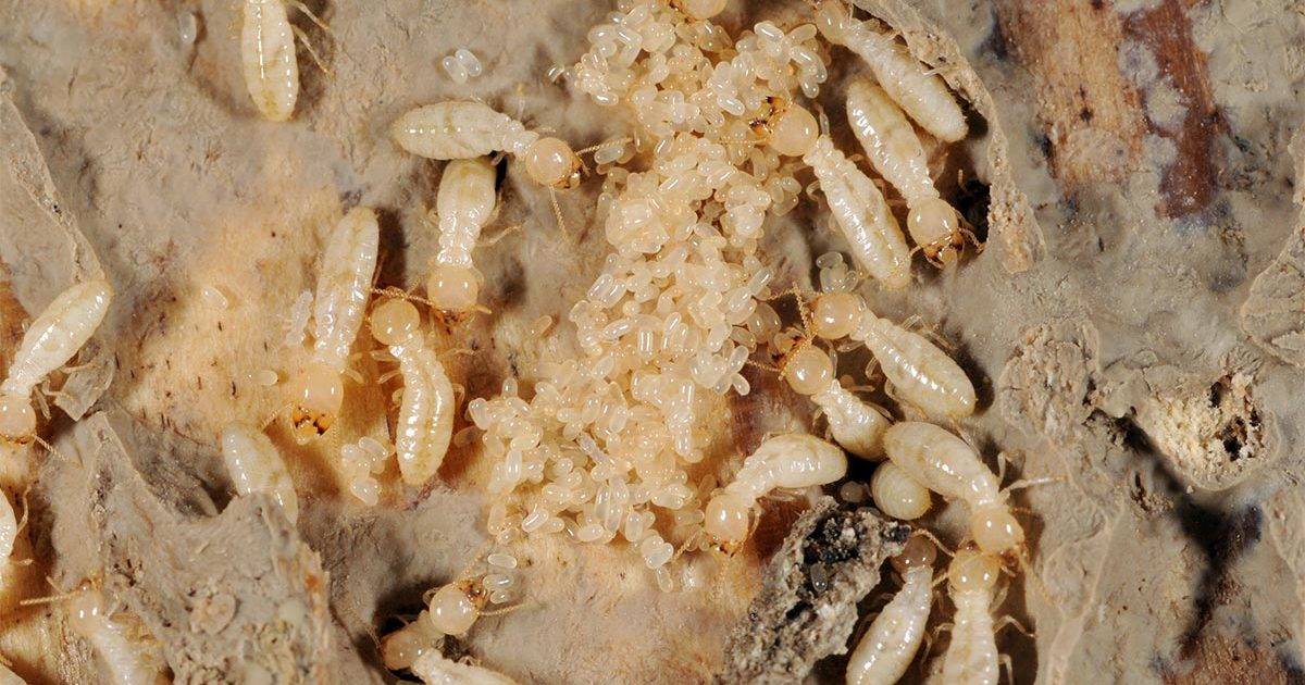Termite larvae with termite eggs.