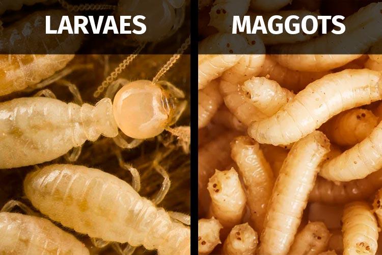 termite larvae vs maggots