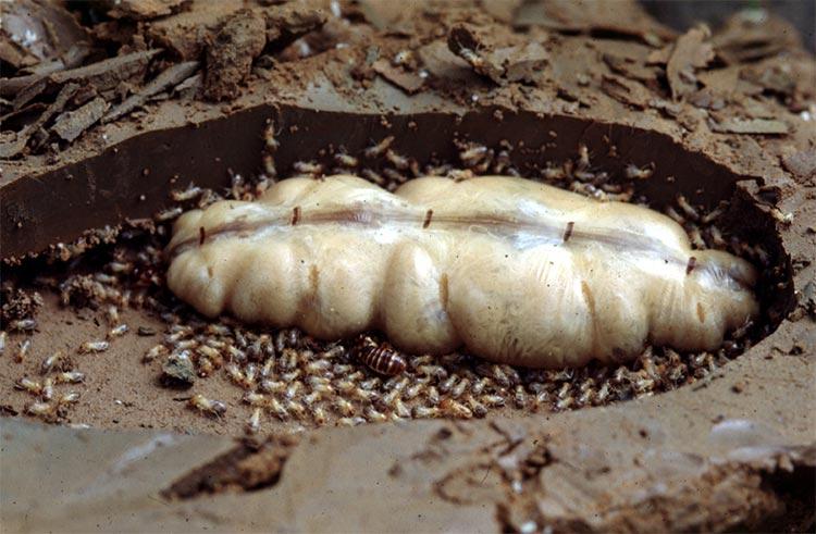 termite queen picture