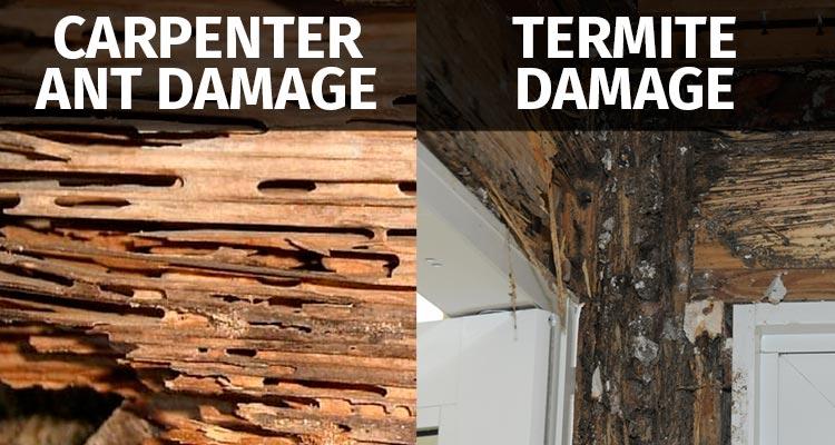 Carpenter Ant Damage vs Termite Damage