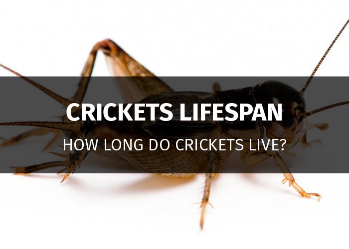 how long do crickets live
