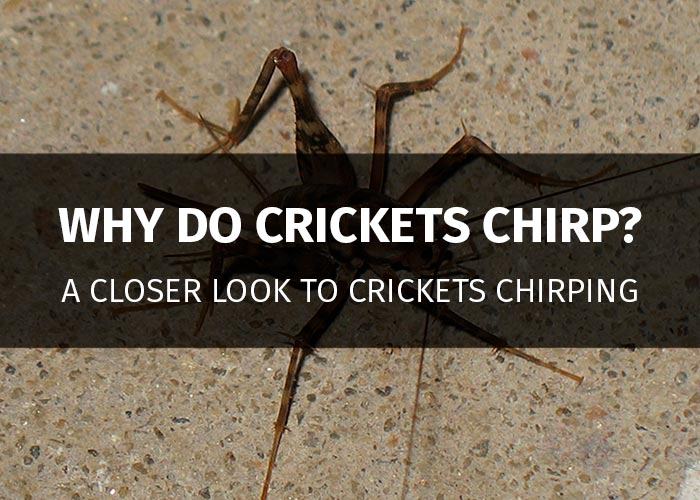 why do crickets chirp