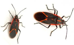 this is how boxelder bugs look like