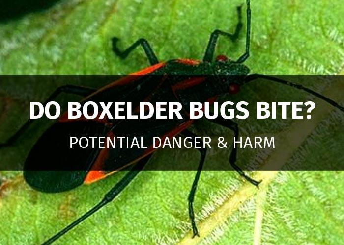 do boxelder bugs bite