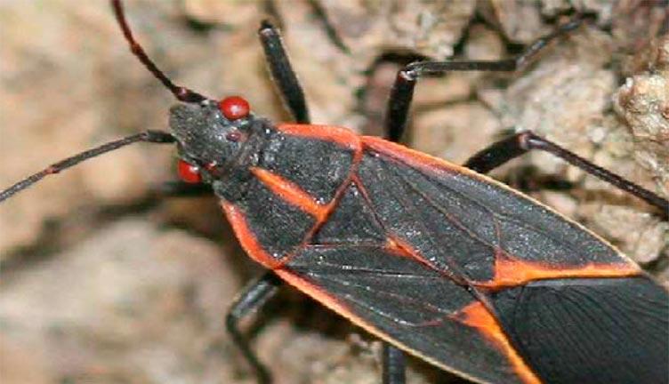 adult boxelder bug
