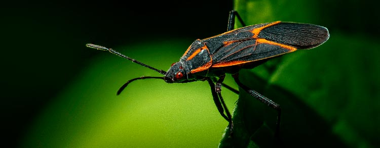 what does boxelder bugs eat