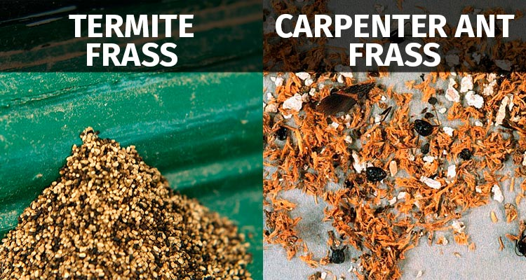 carpenter ant frass vs termite frass
