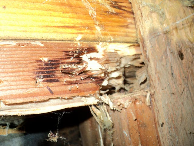drywood termite damage