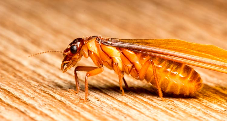 flying termite picture