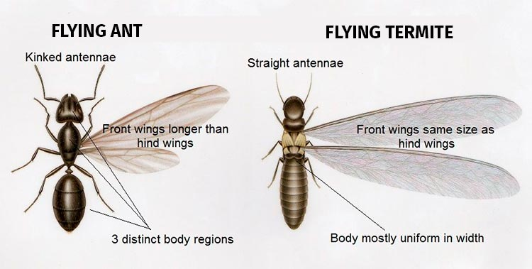flying termite vs flying ant difference