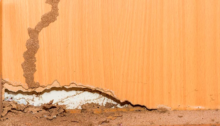 picture of termite mud tube on the wall