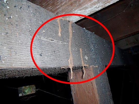 subterranean termite mud tubes