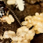 termite eggs and a queen