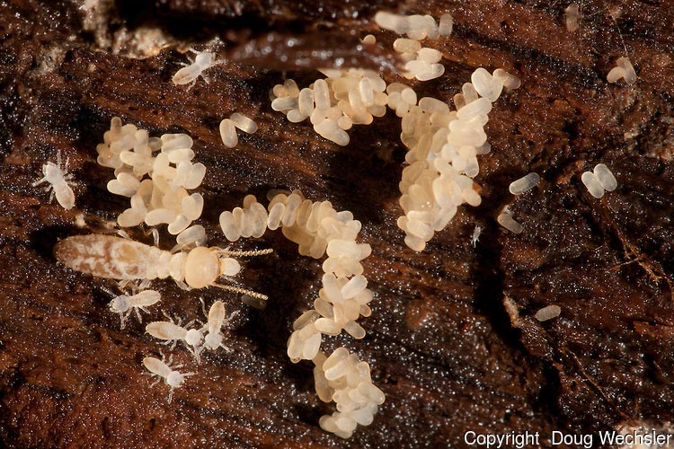 picture of termite eggs