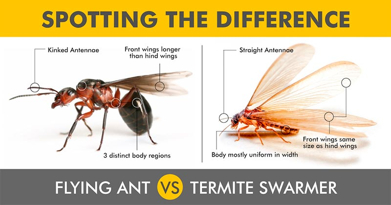how to spot the difference between flying ant and a termite swarmer