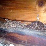 termite frass