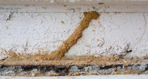 termite mud tube