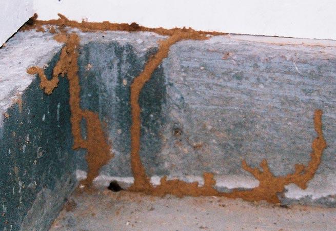 termite tubes on the concrete foundation