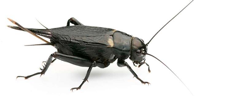 do black cricket bite