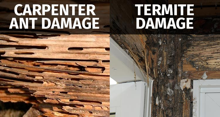 Carpenter Ant Damage vs Termite Damage