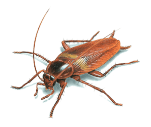 cockroach look