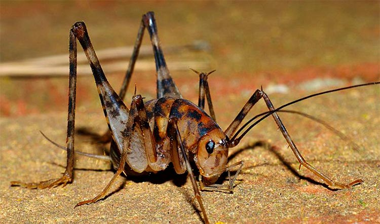 picture of camel cricket