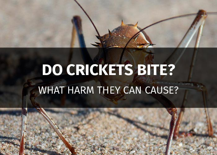 do crickets bite