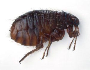close look to a flea
