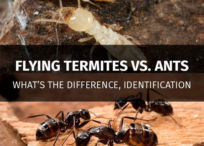 flying termites vs ants
