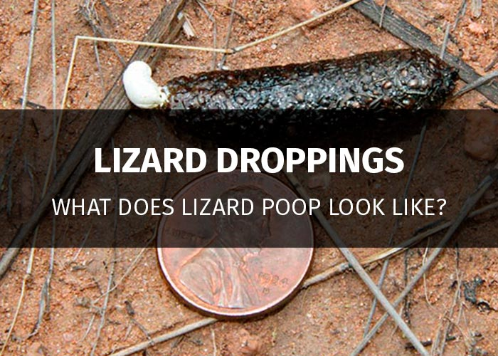 lizard poop