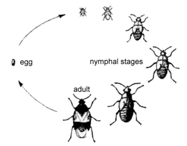 boxelder bug life cycle