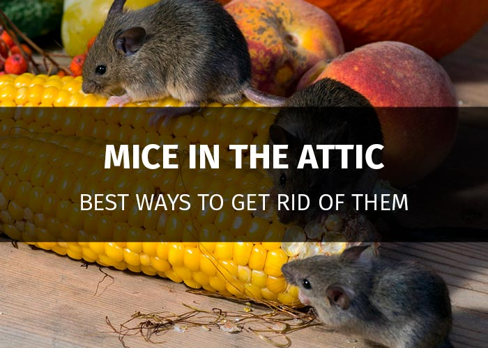 How To Get Rid Of Mice In The Attic And Keep Them Away