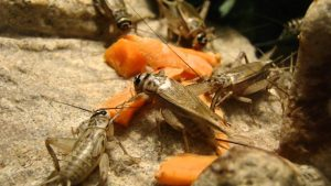 crickets eating carrots
