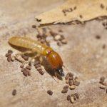 live termite eggs picture