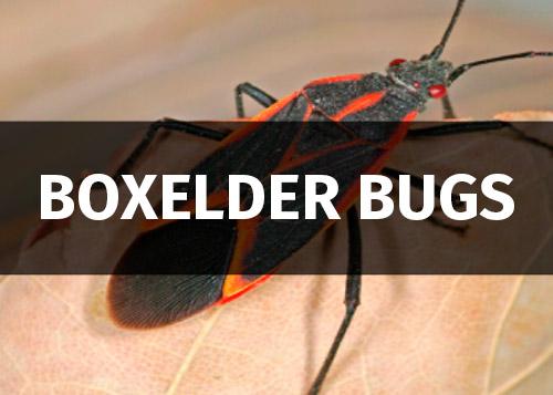boxelder bugs image